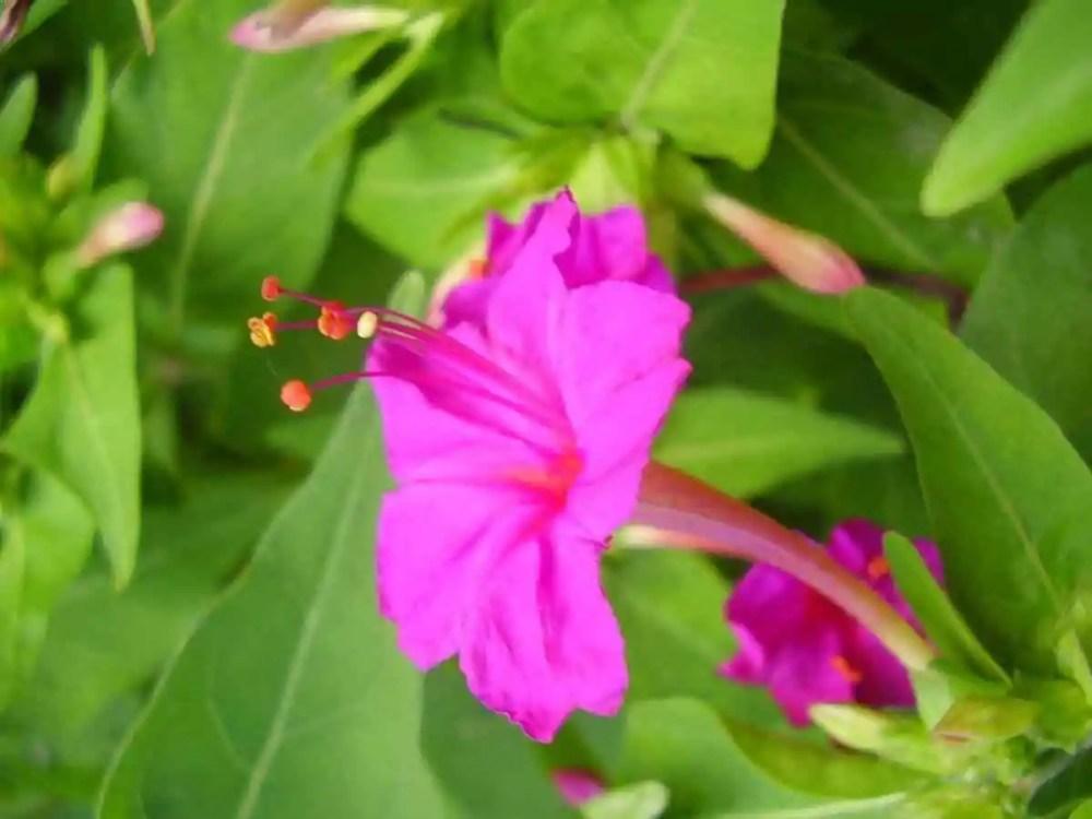 4 o' Clock Flower