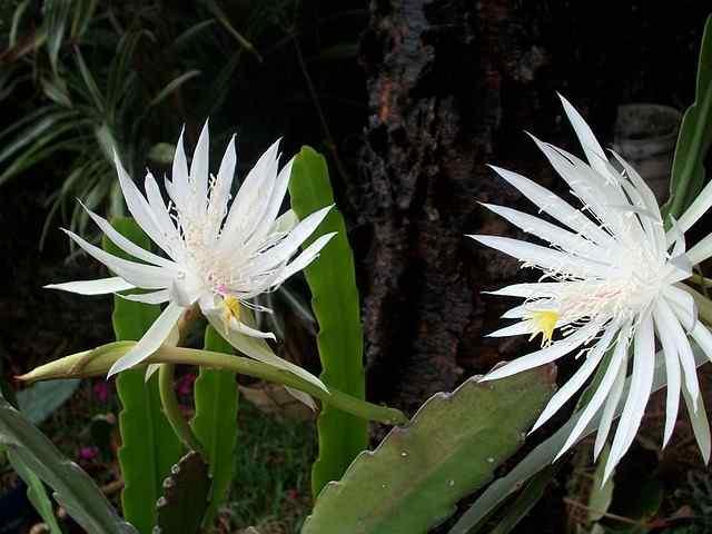 Top 10 most beautiful night blooming flowers dutchmans pipe cactus mightylinksfo