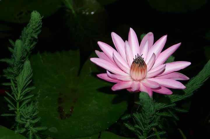 Night Blooming Water Lilies