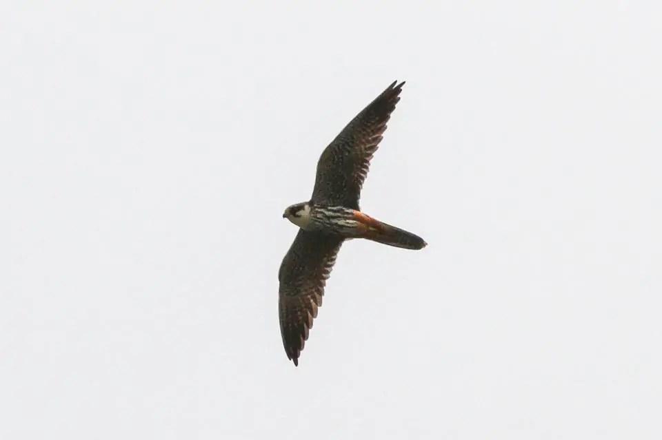 Fastest Birds