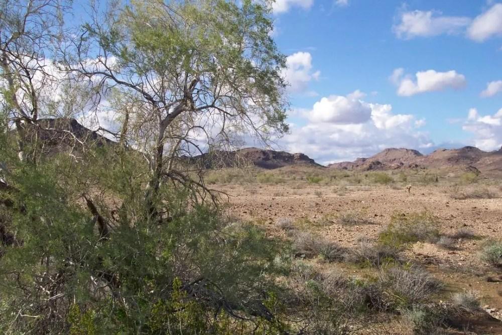 Desert Ironwood