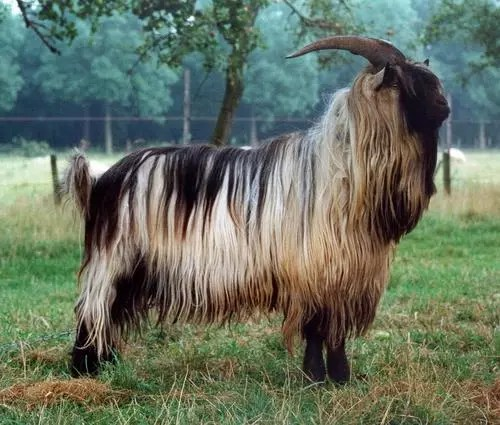 Top 10 Most Dangerous Goat Breeds