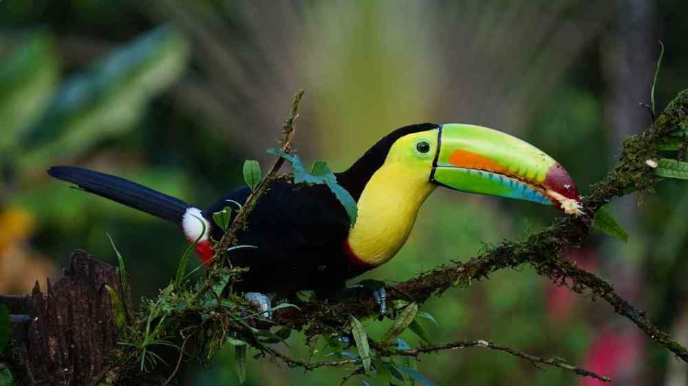 KEEL BILLLED TOUCAN