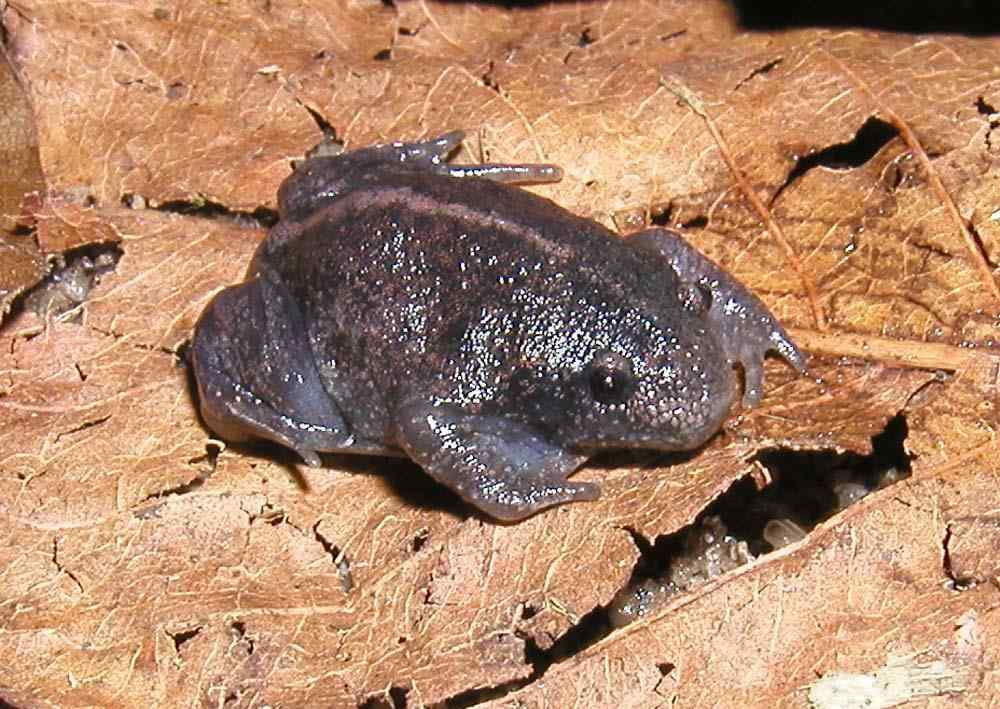 MEXICAN BURROWING FROG