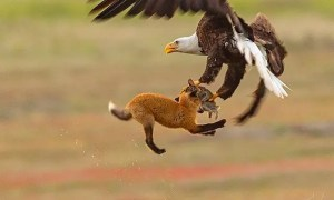 Eagle vs Bat