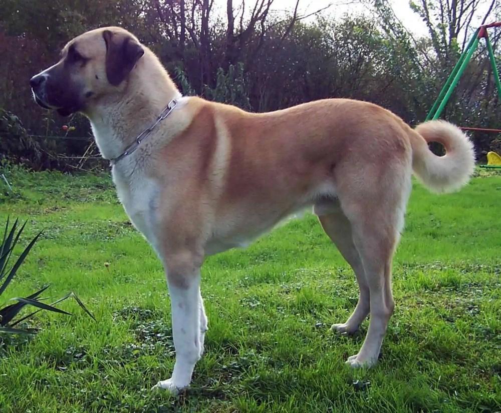 Anatolian Shepard Dog