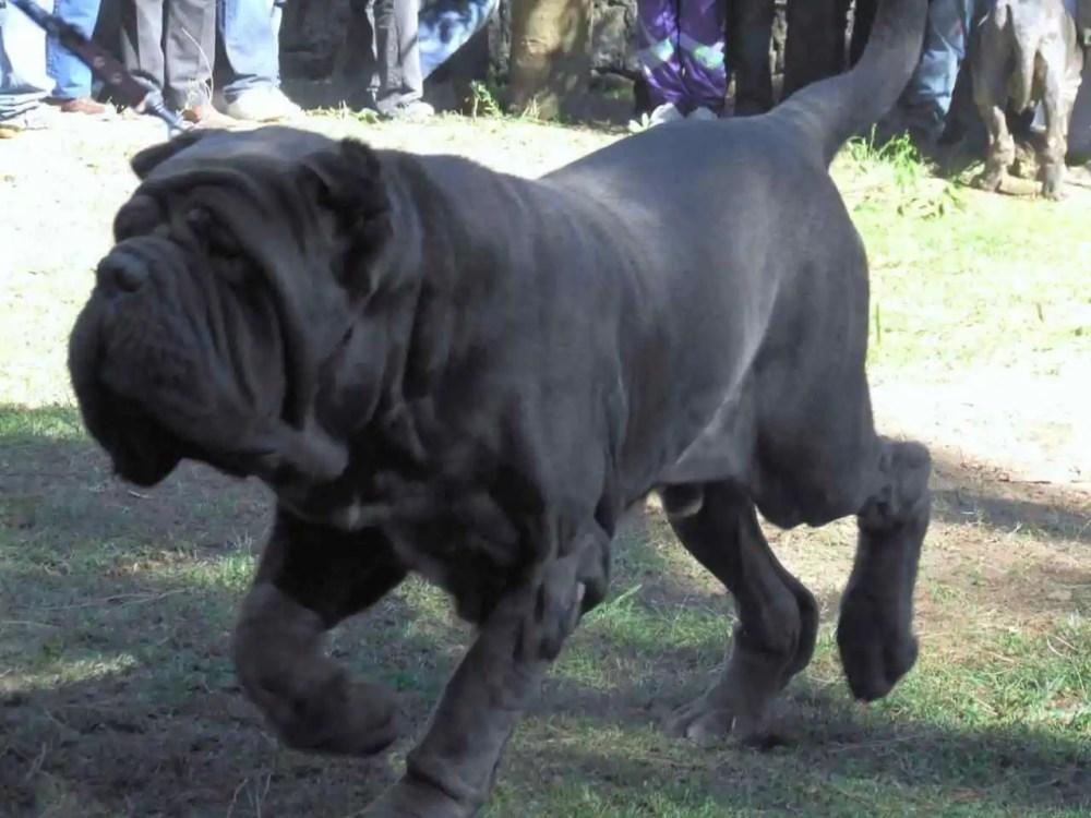 Neopolitan Mastiff