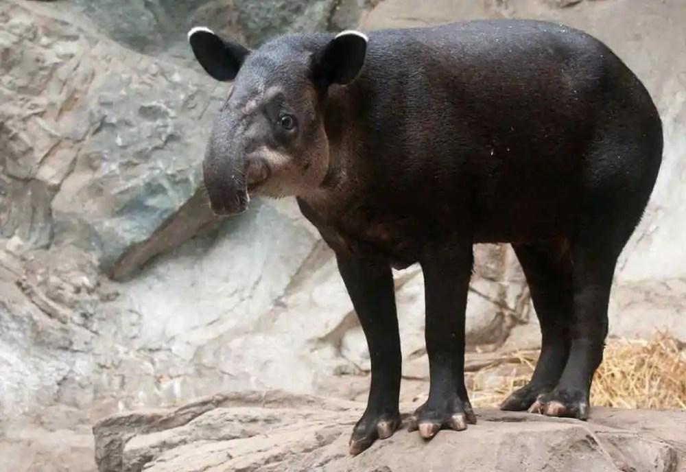 Baird Tapir