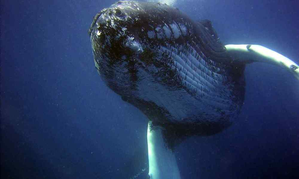This Diver Got an Epic Selfie With an Enormous Humpback Whale. Do Watch