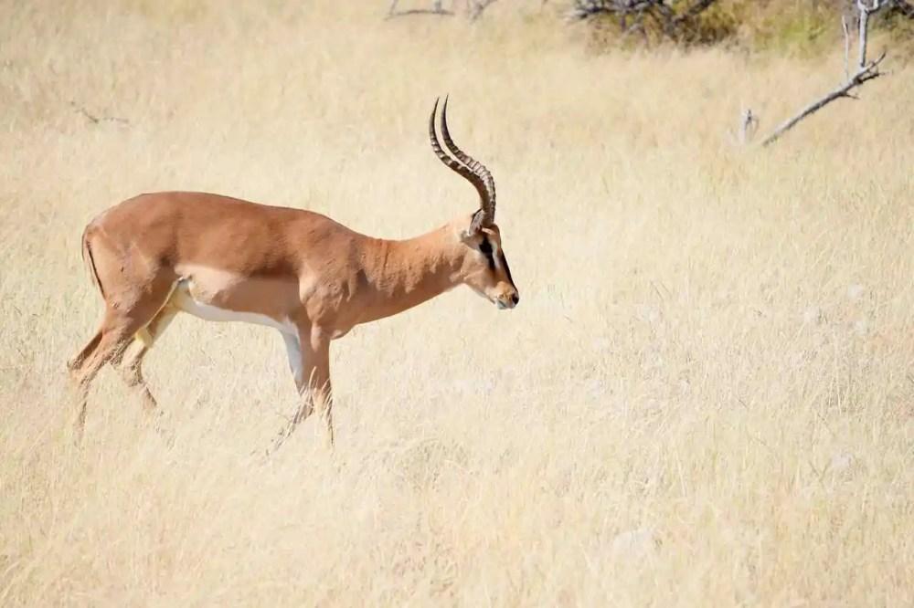 The Impala Antelope