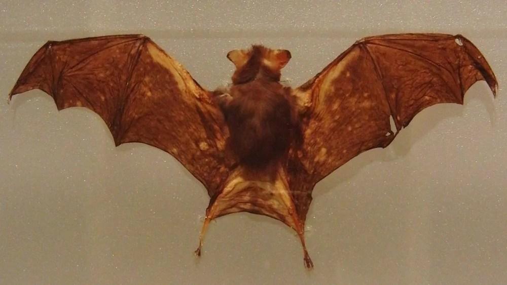 Kitti's Hog-Nosed Bat (Smallest Bat)