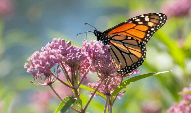 What monarch butterflies prefer | Earth | EarthSky