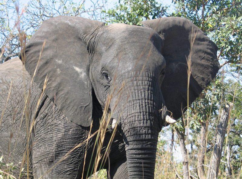 The Unique Elephant Brain Earth Earthsky