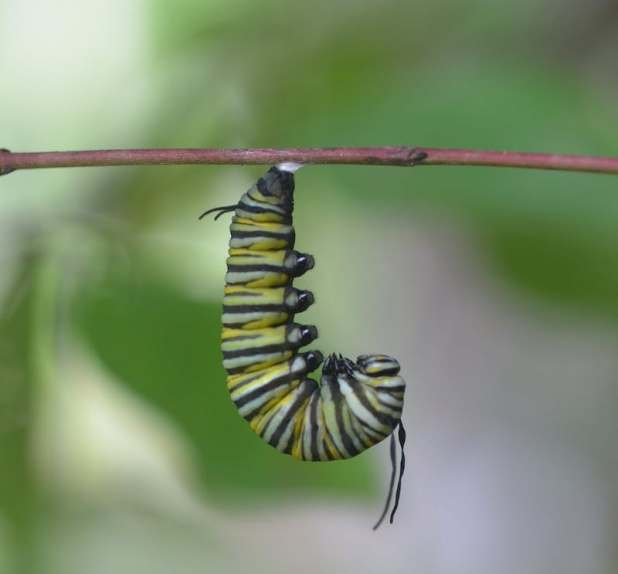 Caterpillar with green, yellow and black striped hair hangs with a stick.