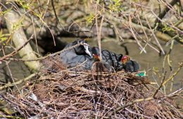 160410 nesting neighbours (3)