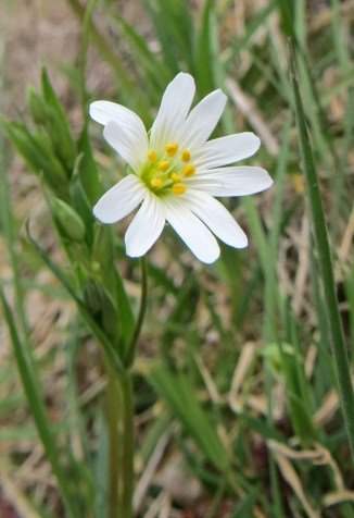 160417 greater stitchwort Stellaria holostea