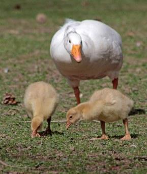 160503 goslings (3)