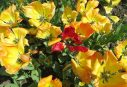 160506 tulips (9)