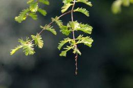 160509 dawn redwood (3)