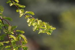 160509 dawn redwood (4)