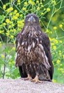 160525 bald eagle (2)