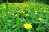 160603 yellow wildflowers (2)