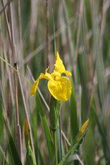 160603 yellow wildflowers (5)