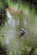 160619 heron fishing (6)