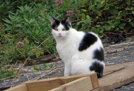 160619 welsh cats (4)