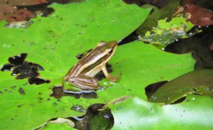160629 Cambodia Common green frog (3)