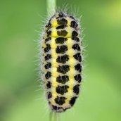 160709 5-spot Burnet caterpillar (2)