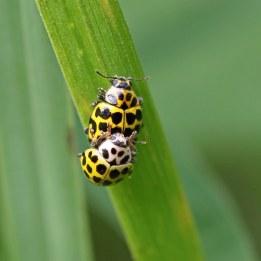 160809 ladybird (1) 22 spot