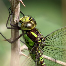 160815 Southern Hawker (2)
