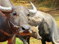 160817 cambo cattle (1)