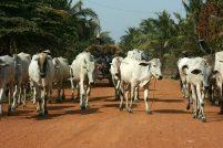 160817 cambo cattle (3)