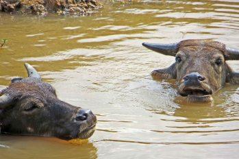160817 cambo cattle (5)