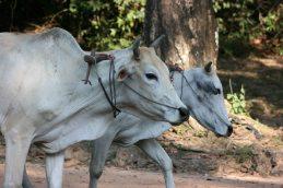 160817 cambo cattle (8)
