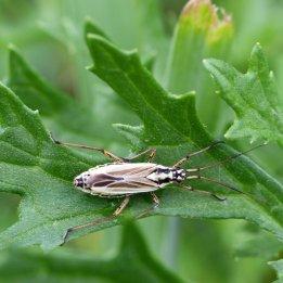 160820 Leptopterna sp nymph (6)