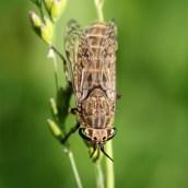 160822 Horsefly Haematopota sp (1)