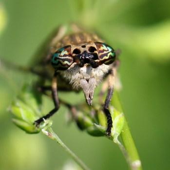160822 Horsefly Haematopota sp (3)