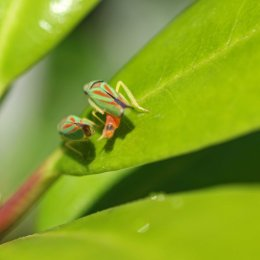 160830 Rhododendron leafhopper (4)