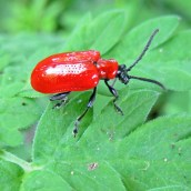160920-red-lily-beetle-lilioceris-lilii
