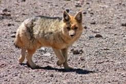 160921-andean-fox-2