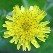 161014-mellow-yellow-2