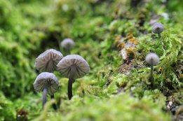 161129-mycena-fungi-3