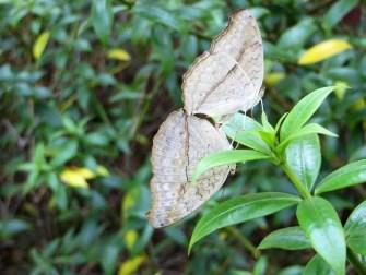 151221-cambodia-common-evening-brown