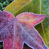 161215-frosty-leaves-5