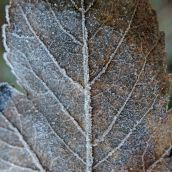 161215-frosty-leaves-8