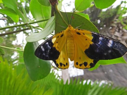 161221-cambodia-yellow-moth
