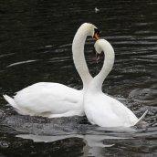 170118-spring-swans-5